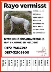 Weißer Hund Galgo vermisst