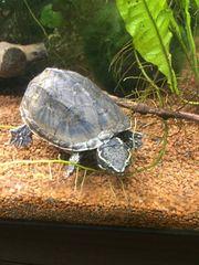 Moschusschildkröte Wasserschildkröte