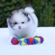 Boo Pomeranian Zwergspitz