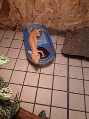 leopardgecko sucht ein neues Zuhause