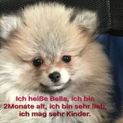 Welpen Pomeranian zwergspitzen