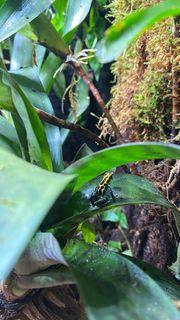 Dendrobaten Terrarium Ranitomeya amazonica