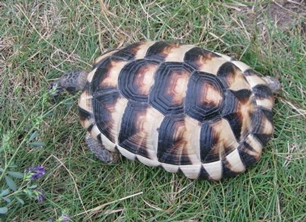 weibliche Breitrandschildkröte mit 800 Gramm