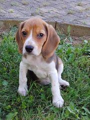 Reinrassige Beagle Hündin