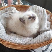 BLH Ragdoll Kitten