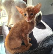 Orientalisch Kurzhaar Kitten