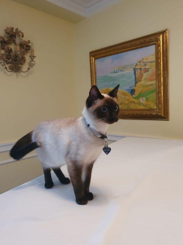 Siam Katze vermisst seit Samstag