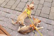 Unkomplizierte Chihuahua Teenagers suchen Zuhause