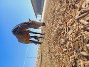 Pferd zu Verkaufen