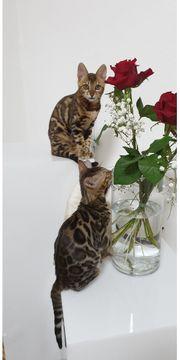 Exklusives Bengal Kitten geimpft gechipt