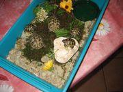 griechische Lansdchildkröten maurische Landschildkröten