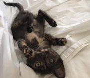 Bean kleines Schildpatt Kätzchen ca