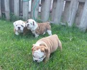 Englische Bulldoggen für Pflege und