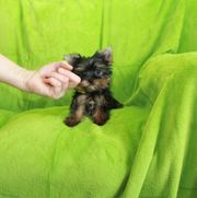 Super Mini Teecup Yorkshire Terrier