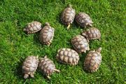 Landschildkröten Breitrand