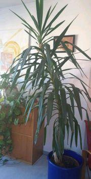 Große gesunde Yucca-Palme