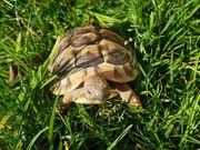 Griechische Landschildkröten Nachzuchten aus Privater