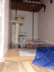 Bkh Scottish Foold Kitten suchen