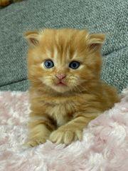 Rasse babykatzen