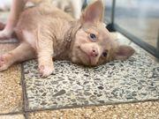 bezaubernde Chihuahua Welpen Weibchen in