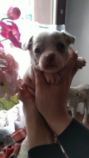 Verkaufe wunderschöne Chihuahua-Welpen