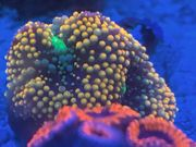 Korallen Sps Lps Meerwasser Scheibenanemone
