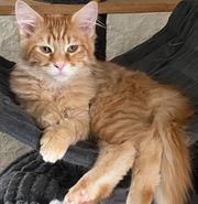 Maine Coon Kitten der alten