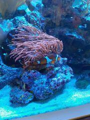 Amphiprion percula Trauerband-Anemonenfische Clownfisch-Pärchen Nemo