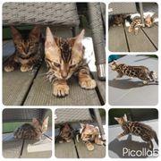 Katzenbaby Bengal
