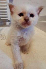 Edelmix Kitten Heilige Birma britisch