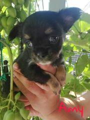 Wunderschöne Langhaar Chihuahuawelpen