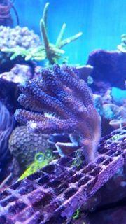 Stylophora pistillata Milka Koralle Meerwasser