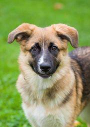 Welpe Schäferhund mix 7 Monate