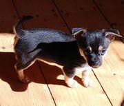 Prager Rattler X Chihuahua RÜDE