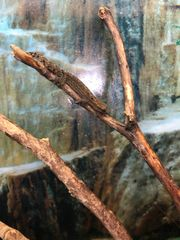 Jungferngecko lat Lepidodactylus lugubris 19