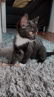 BKH Kitten Weibchen 10 Wochen