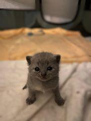 BKH-Kitten in Creme und Blue