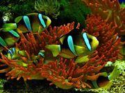 Meerwasser Clarks Anemonenfisch Paar NZ