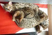 Bengalen-BKH-Mix-Kitten