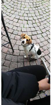 2 5 jährige Beagle Jack