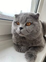 BKH Scottish fold Kater zu