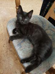 Maine Coon Persa Kitten