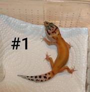 0 7 Leopardgeckos NZ 2020