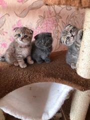 Wunderschöne BKH Kitten suchen ein