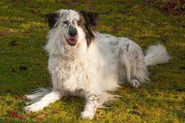 Louisi 5 Jahre - Collie-Aussi-Mix - Tierhilfe: Kleinanzeigen aus Lauf - Rubrik Hunde