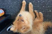 Pomeranian Spitz zu verkaufen
