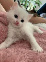 Weißes Edelmix Kitten Türkisch Angora -