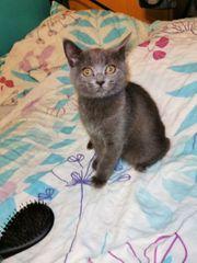Blue Bkh-Ragdoll Kitten