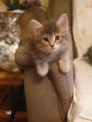 Süße Maine Coon Kätzchen