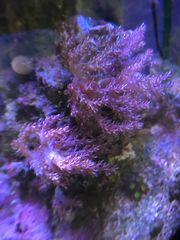 Keniabäumchen Meerwasser Korallen